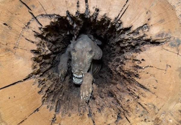 توفي منذ 60 عاماً ولم يتعفن كلب السنديان يكشف ظاهرة غريبة
