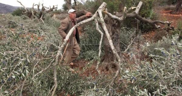مستوطنون يعدمون 700 شجرة كرمة شرق الخليل
