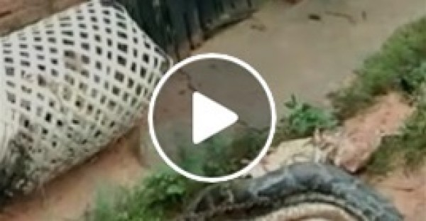 ثعبان جشع يتقيأ 5 دجاجات سليمة