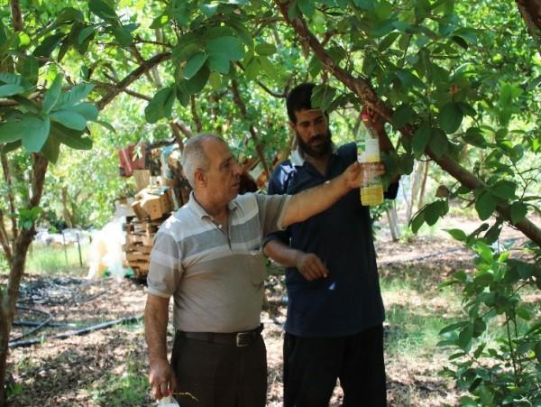 الإغاثة الزراعية تنفذ حملة مكافحة لذبابة الفاكهة والزيتون باستخدام مصائد حديثة