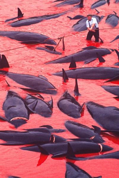 """بركة دماء وقتل وحشي للدلافين والحيتان باستخدام السكاكين في """"جزر فارو"""""""