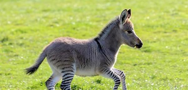 """ولادة نوع جديد من الحمير يدعى """"زونكي"""""""