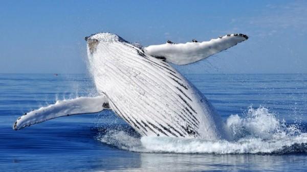 نغمات أغاني الحيتان تتغير في المحيط الهندي.. ما السبب؟