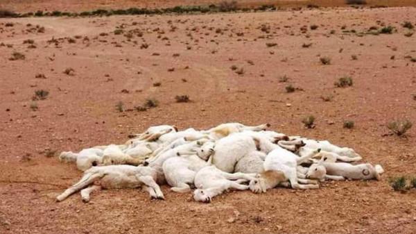 داء غامض يُودي بالمواشي على الحدود المغربية مع الجزائر