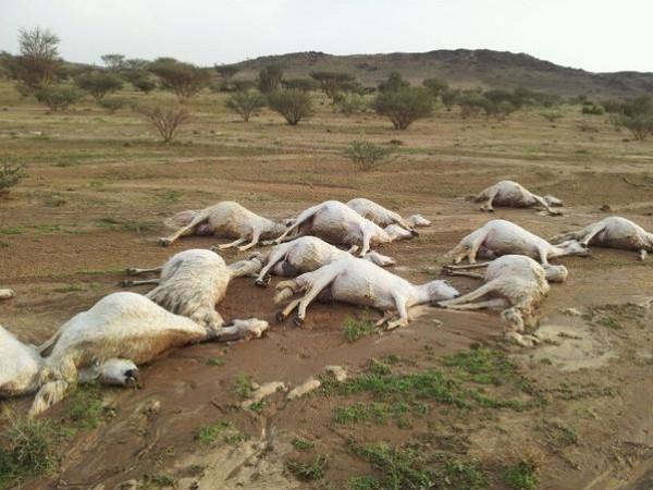 وسط حالة خوف شديدة.. الطاعون يقتل آلاف المواشي بالجزائر