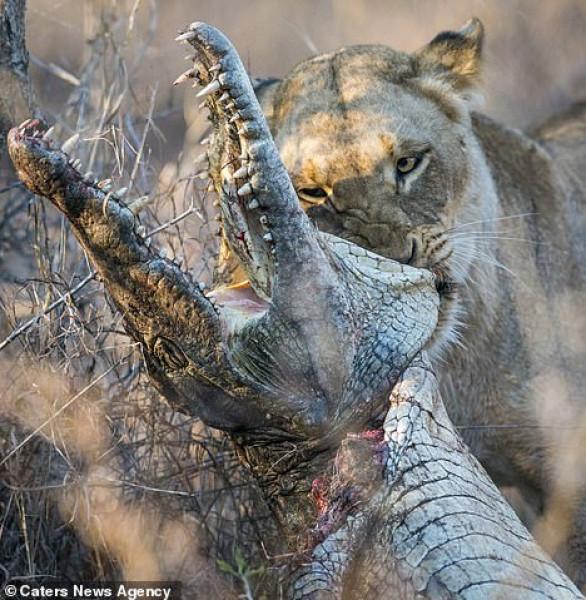 شاهد: لحظة التهام أنثى أسد تمساحا ضخما وتمزيق جسده بأسنانها