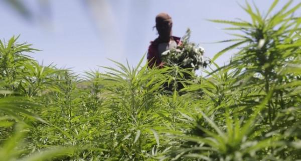 زراعة جنين توزع 100 ألف شتلة زيتون على المزارعين