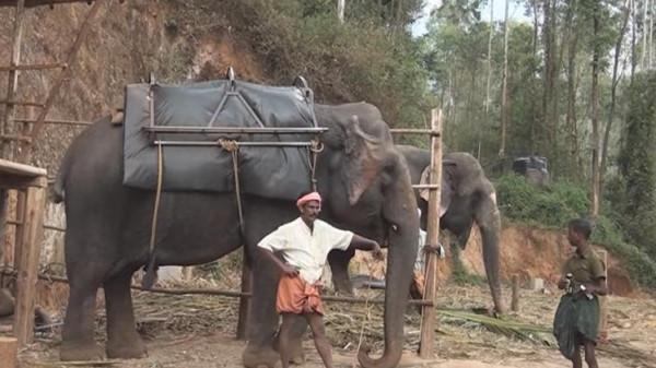 نفوق أكبر فيل آسيوي مُعمّر