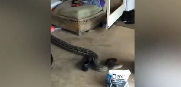 شاهد: ثعبانٌ ضخم يتسلّل إلى منزل.. رأسه أكبر من كفّ اليد