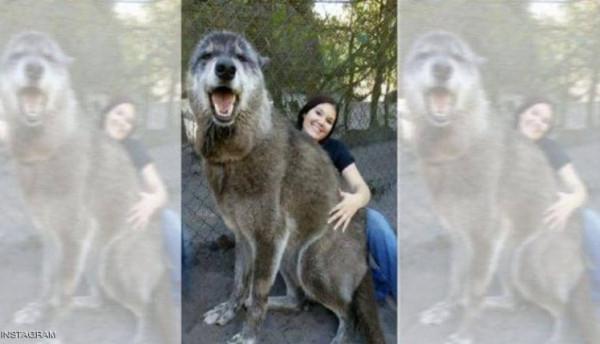 كلب عملاق يثير الدهشة.. ومفاجأة بعد الكشف عن فصيلته