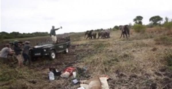 قطيع فيلة يهاجم أطباء يعالجون أسدا