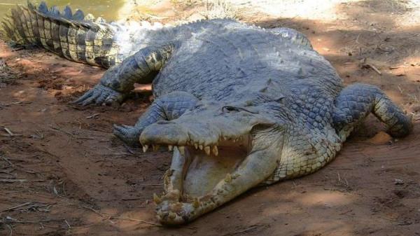 القبض على تمساح أرهب سكان جزيرة وافترس حيواناتها