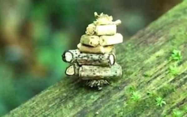 """لحظات مُذهلة لـ""""حشرة العثة"""" الصغيرة وهي تحمل كمية من الأغصان على ظهرها"""