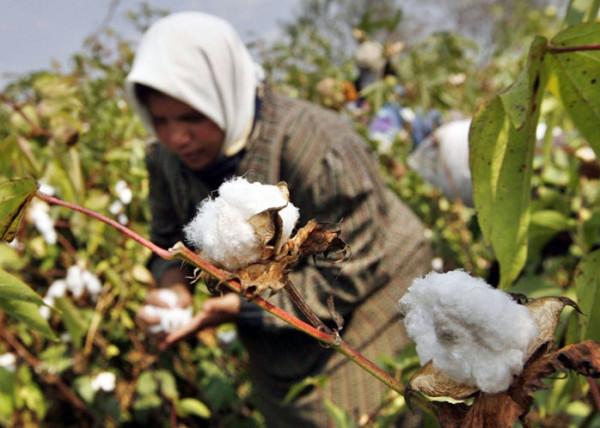 توقعات بانخفاض إنتاج القطن المصري لـ 31%