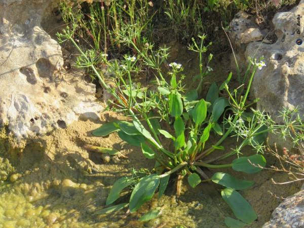 توثيق نبتة نادرة في محمية المرج (أم التوت)