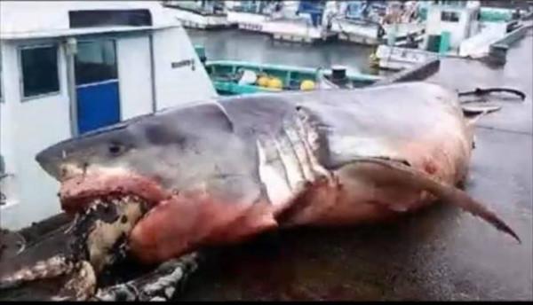 صور لسلحفاة تتسبب في اختناق سمكة قرش تشعل السوشيال ميديا