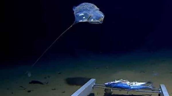 اكتشاف أغرب مخلوق على بعد 7 آلاف متر في عمق المحيط الهادئ