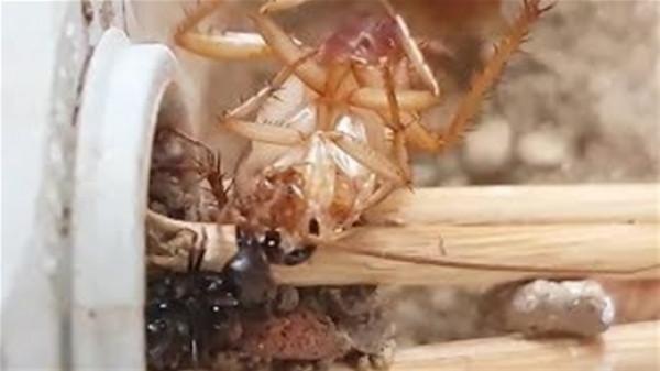 """نمل يحمل """"صرصار"""" أضعاف حجمه في مشهد مذهل"""