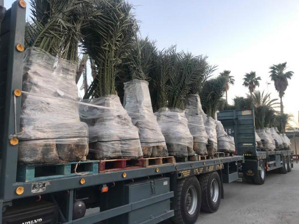 العمل الزراعي بغزة يبدأ بزراعة أشتال نخيل ( البرحي) عالية الجودة