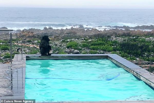 قردان يستوليان على حمام سباحة منزل