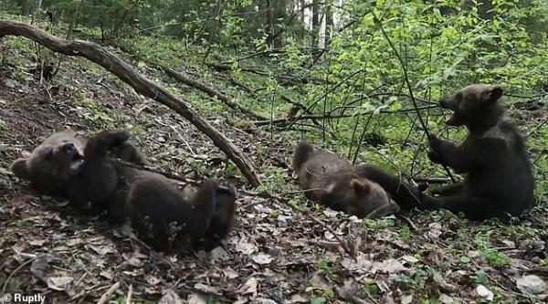 لقطات مرحة لأشبال الدب المتخلى عنها من أمهاتهم