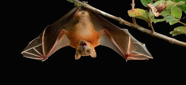 """خفاش يختبئ في """"آيباد"""" ويصيب عجوزا بمرض خطير"""