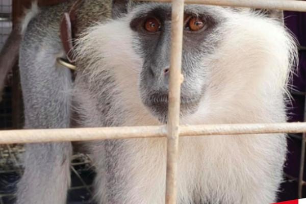 """شاهد: بعد أسبوعين من الإرباك.. إسرائيل تُعيد القرد """"طشطوش"""" للبنان"""