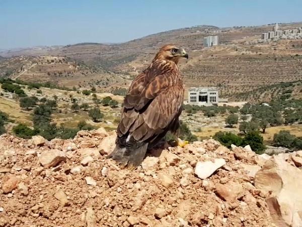 """جمعية """"طبيعة فلسطين"""" تُعيد للطبيعة طائراً مُهدداً بالانقراض"""