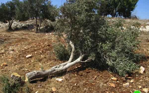 قوات الاحتلال تقطع عشرات الأشجار في بلدة العيسوية