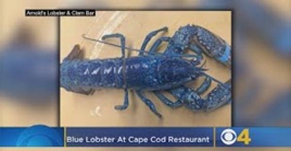 مطعم يستعرض استاكوزا زرقاء نادرة