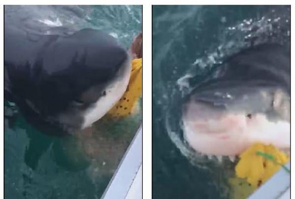 معركة مثيرة بين 6 صيادين وقرشاً أبيض بطول 6 أمتار