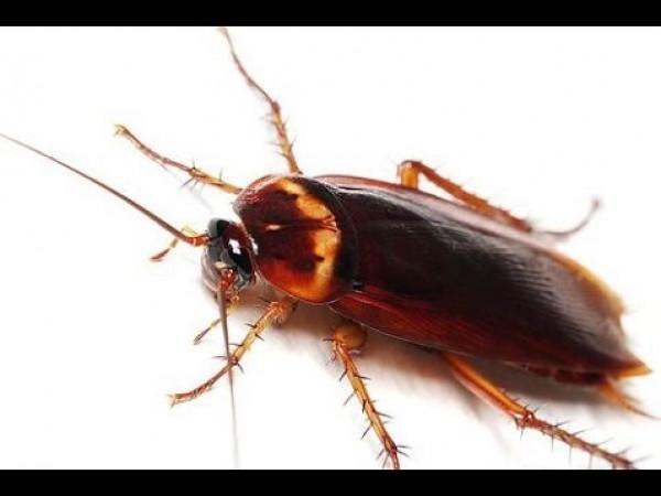 قريبا.. قتل الصراصير بالمبيدات الحشرية قد يكون مستحيلا