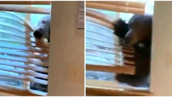 وقفت لتصوره ونسيت النافذة مفتوحة.. دب يحاول اقتحام منزل ويرعب صاحبته