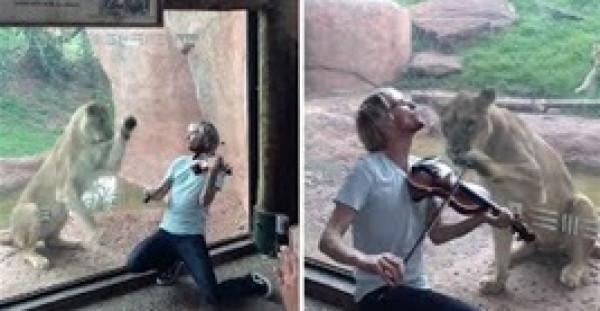 شاهد رد فعل لبؤة لم يعجبها عزف أحد الزوار على الكمان