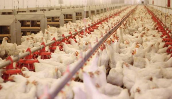 زراعة غزة: تدني في أسعار الدواجن ولا إشكالية على اللحوم