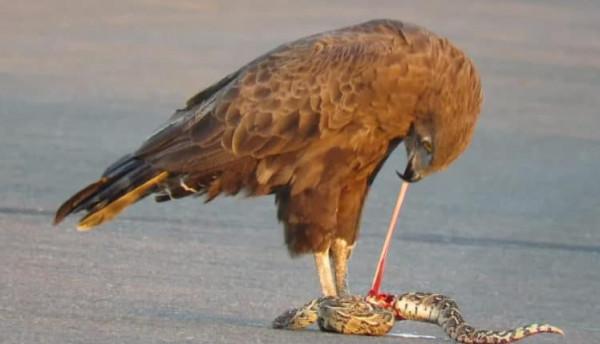 شاهد: نسر يمزق ثعبان ضخم في جنوب إفريقيا