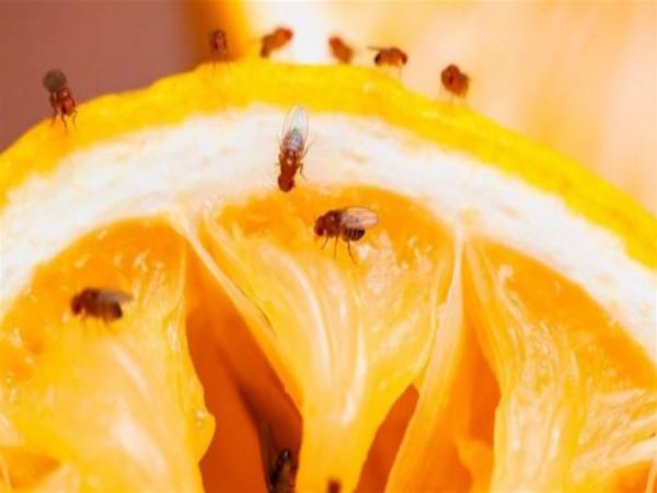 مع ارتفاع درجات الحرارة.. طرق فعالة للتخلص من ذباب الفاكهة (الهاموش)؟
