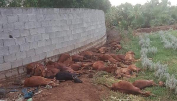 مجزرة بحق 30 رأسًا من الأغنام في السعودية.. والكشف عن الفاعل