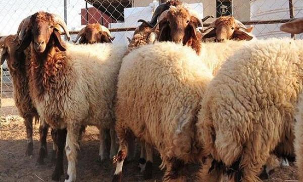 لأصحاب الاضاحي.. الطريقة الشرعية لتوزيع اللحوم بعد الذبح