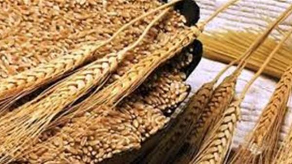 منظمة تطالب مصر بوقف استيراد القمح من روسيا بعد كارثة الانفجار النووى