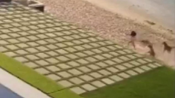 شاهد: كلاب شاردة تهاجم طفلة على شاطئ للسباحة في الكويت