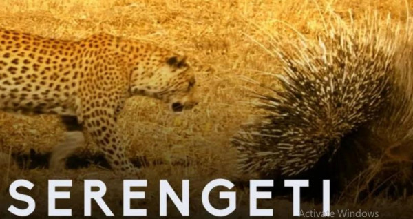 شاهد: الفهود تخشى الاقتراب من هذه الحيوانات الصغيرة