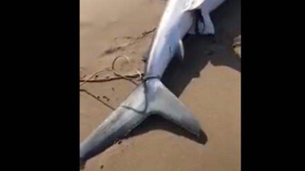 رجل يولد سمكة قرش ميتة على الشاطئ