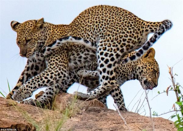 صور مُذهلة لقتال في الهواء بين فهدين