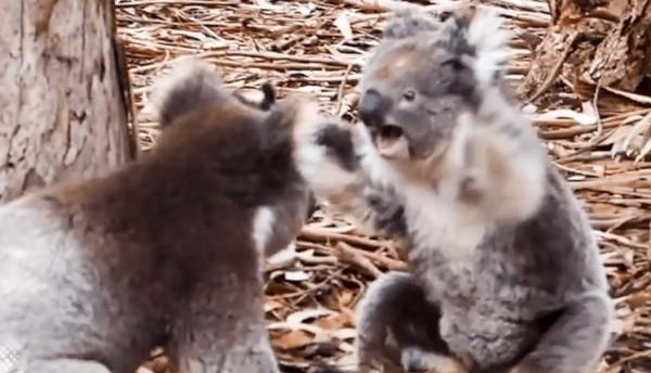 بالفيديو: ذكر وأنثى الكوالا يخوضان معركة شرسة