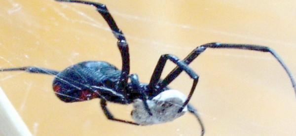 الأرملة السوداء أكلته حياً.. رجل يعاني من الشلل بسبب لدغات العناكب