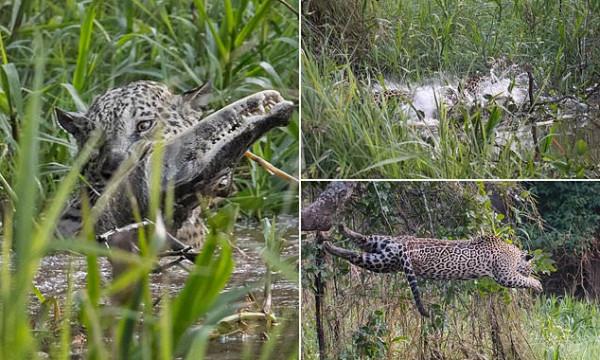 معركة بين نمر وتمساح في نهر بالبرازيل.. شاهد من انتصر في النهاية