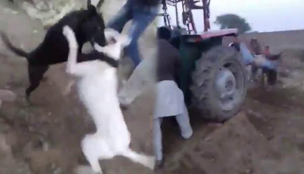 حاول إنهاء معركة بين كلبين فكانت النهاية كارثية