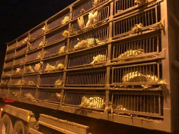 الضابطة الجمركية تضبط 395 من طيور الحبش الممنوعة من التداول