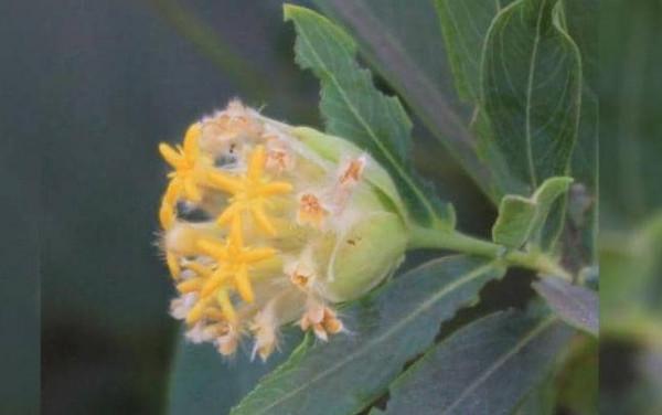 الكشف عن نبتة سحرية لحل السمنة